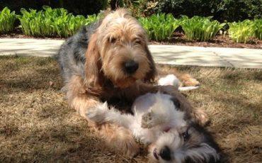 otterhound pups