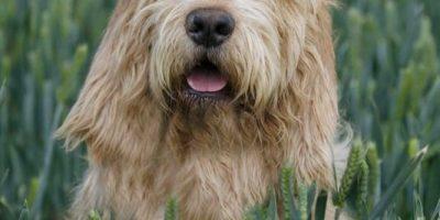 Otter hound dog Profile