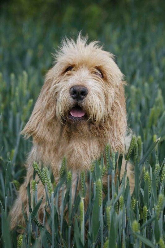 otterhound wire haired dog breeds
