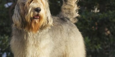 Otterhound Puppies for sale in Pa