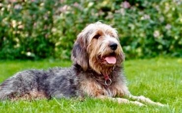 Otterhound for Adoption